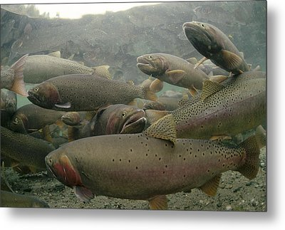 Cutthroat Trout In Henrys Lake Idaho Metal Print by Michael Quinton