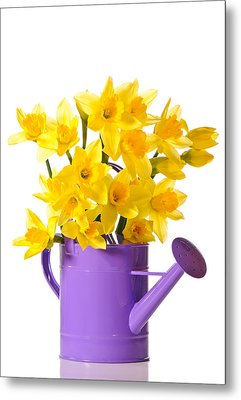 Daffodil Display Metal Print by Amanda Elwell