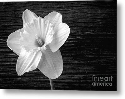 Daffodil Narcissus Flower Black And White Metal Print by Edward Fielding