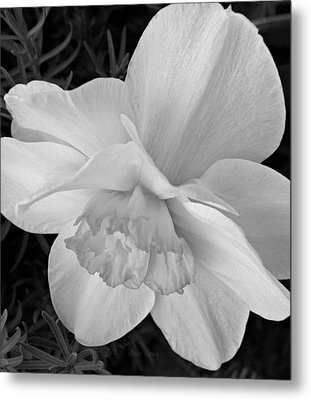 Daffodil Study Metal Print by Chris Berry