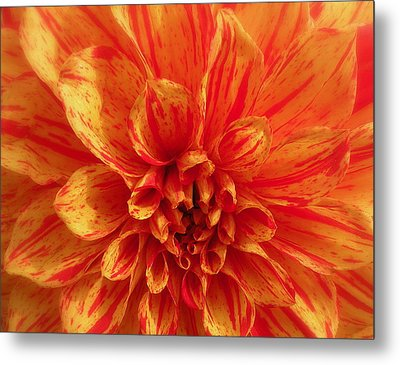 Dahlia  Metal Print by Brian Chase