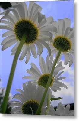 Daisies From Down Under Metal Print by Marisa Horn
