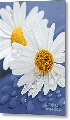 Daisy Flowers With Water Drops Metal Print by Elena Elisseeva