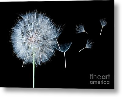 Dandelion Dreaming Metal Print by Cindy Singleton