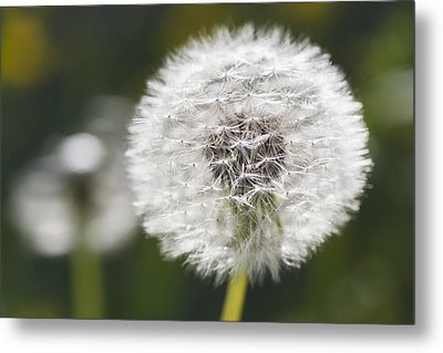 Dandelion _taraxacum Officinale__ Black Metal Print by Carl Bruemmer
