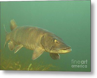 Deep Water Muskie Metal Print by Engbretson Underwater Photography