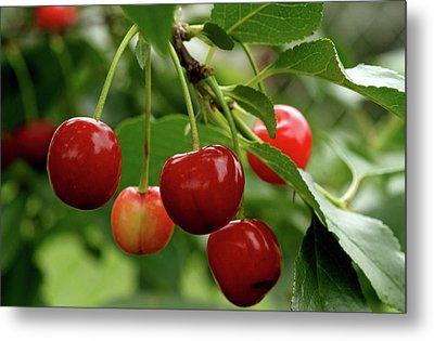 Delicious Cherries Metal Print by Sandy Keeton