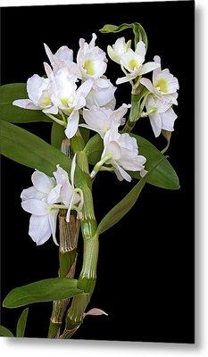 Dendrobium Nobile Orchid Metal Print by Dr. Nick Kurzenko