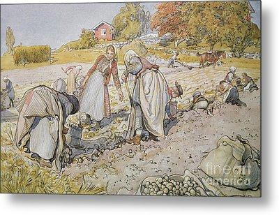 Digging Potatoes Metal Print by Carl Larsson