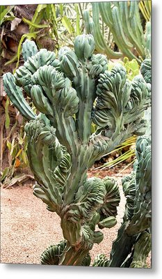Distorted Cactus In Morocco. Metal Print by Mark Williamson