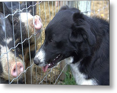 Dog And Pigs Metal Print by Kathy Bassett