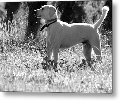 Dog On Guard Metal Print by Kathleen Struckle