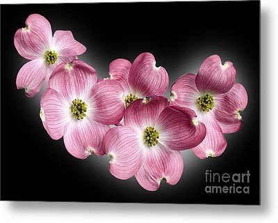 Dogwood Blossoms Metal Print by Tony Cordoza