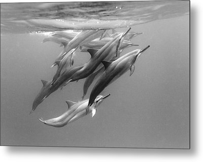 Dolphin Pod Metal Print by Sean Davey