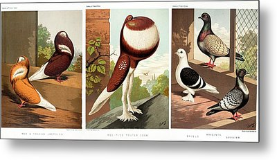 Domestic Fancy Pigeon Breeds Metal Print by Paul D Stewart