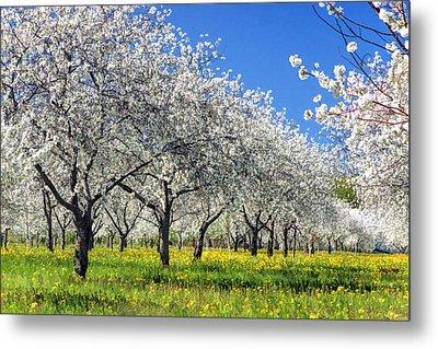 Door County Cherry Blossoms Metal Print by Christopher Arndt