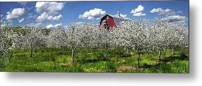 Door County Cherry Blossoms Panorama Metal Print by Christopher Arndt