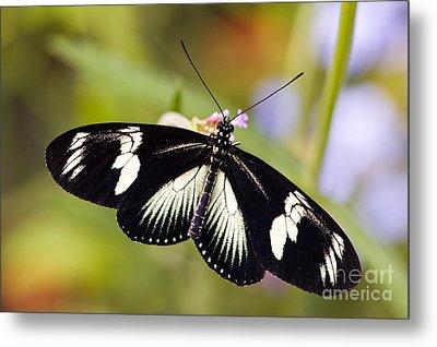Doris Longwing Butterfly Metal Print by Oscar Gutierrez
