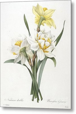 Double Daffodil Metal Print by Pierre Joseph Redoute