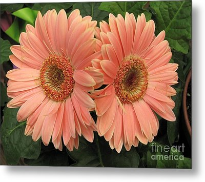 Double Delight - Coral Daisies Metal Print by Dora Sofia Caputo Photographic Art and Design