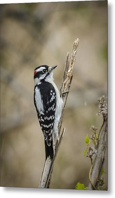 Downy On Cattail Metal Print by Bradley Clay