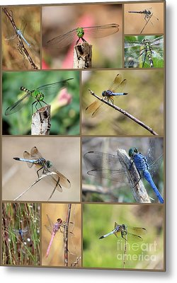 Dragonfly Collage 3 Metal Print by Carol Groenen