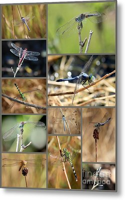 Dragonfly Collage Metal Print by Carol Groenen