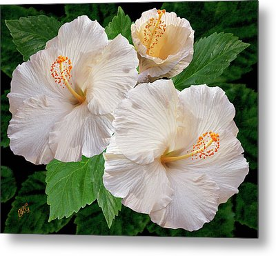 Dreamy Blooms - White Hibiscus Metal Print by Ben and Raisa Gertsberg
