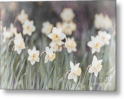 Dreamy Daffodils Metal Print by Elena Elisseeva