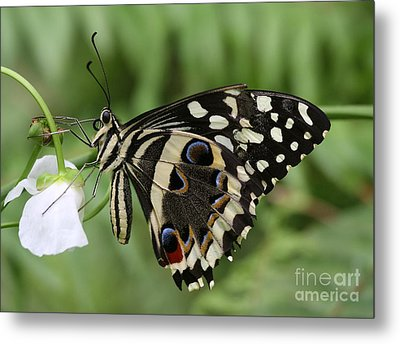 Drinks With A Giant  Swallowtail Metal Print by Ruth Jolly
