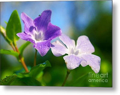 Drops On Violets Metal Print by Carlos Caetano