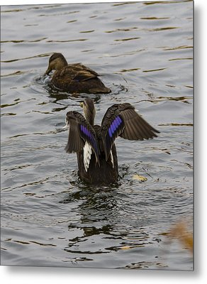 Duck Pict 1 Metal Print by Michel DesRoches
