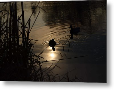 Ducks On The River At Dusk Metal Print by Samantha Morris