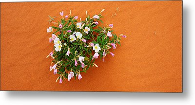 Dune Evening Primrose Flowers In Sand Metal Print by Panoramic Images