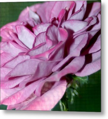 Dusty Rose Metal Print by Barbara S Nickerson