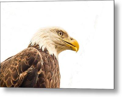 Eagle With Prey Spied Metal Print by Douglas Barnett