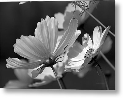 Early Dawns Light On Fall Flowers Bw 02 Metal Print by Thomas Woolworth
