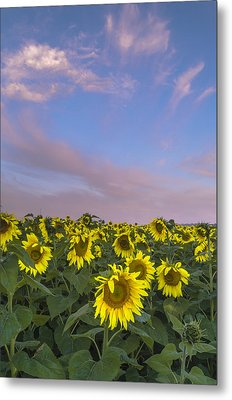 Early Morning Sunflowers Metal Print by Thomas Pettengill