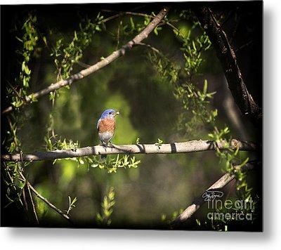 Eastern Blue Bird At Sunrise Metal Print by Cris Hayes