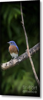 Eastern Blue Delight Metal Print by Cris Hayes