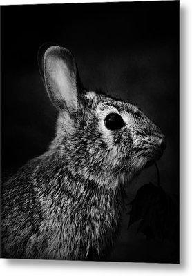 Eastern Cottontail Rabbit Portrait Metal Print by Rebecca Sherman