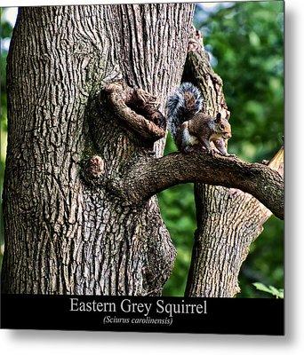 Eastern Grey Squirrel Metal Print by Chris Flees