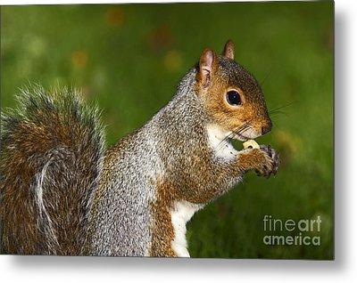 Eastern Grey Squirrel Metal Print by Craig B