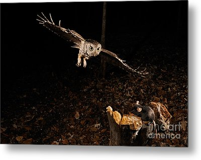 Eastern Screech Owl Hunting Metal Print by Scott Linstead