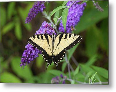 Eastern Tiger Swallowtail Butterfly Metal Print by Richard and Susan Day