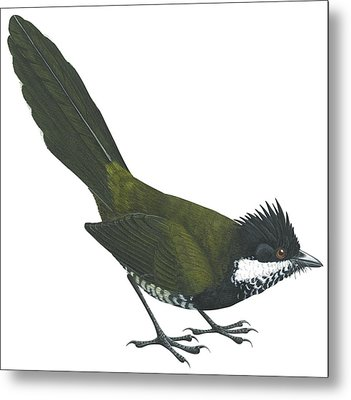 Eastern Whipbird Metal Print by Anonymous