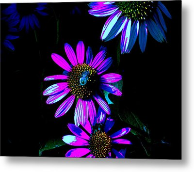 Echinacea Hot Blue Metal Print by Karla Ricker