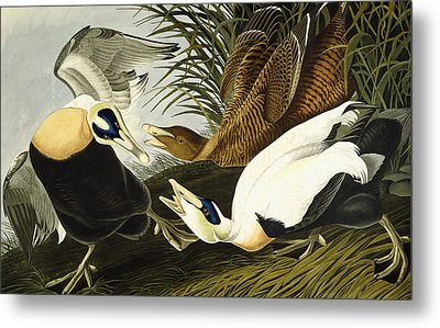 Eider Ducks Metal Print by John James Audubon
