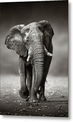 Elephant Approach From The Front Metal Print by Johan Swanepoel