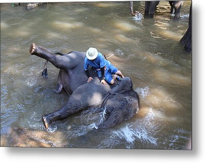 Elephant Baths - Maesa Elephant Camp - Chiang Mai Thailand - 011310 Metal Print by DC Photographer